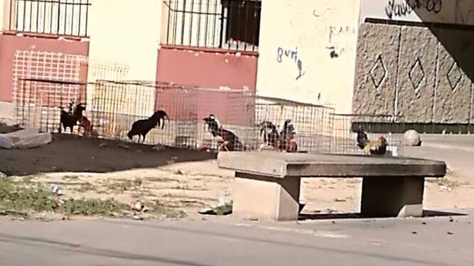 Jaulas con gallos de pelea, en plena calle.