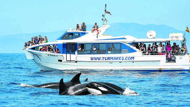 Embarcación de Turmares ante un grupo de Orcas en el Estrecho de Gibraltar.