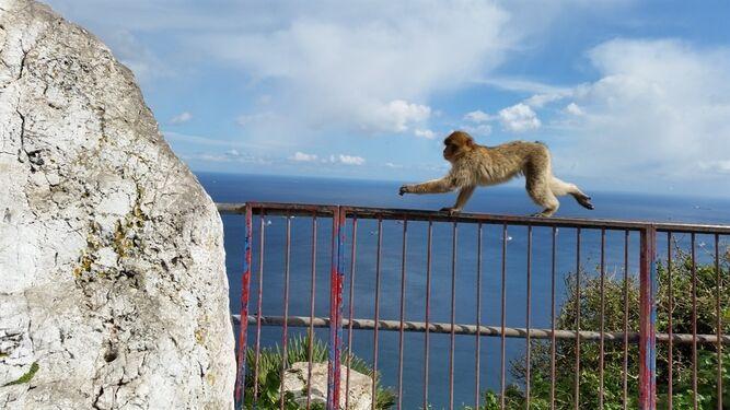 Un mono en Gibraltar.