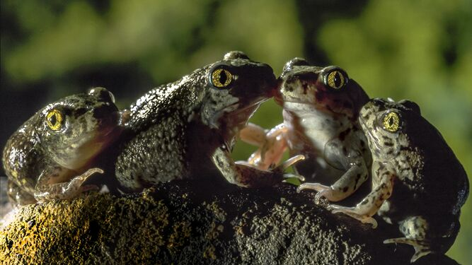 Cuatro ranas en una curiosa composición.