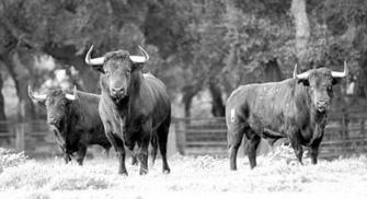 Antonio gavira un rom ntico que cri un toro bravo con - Jose antonio gavira ...